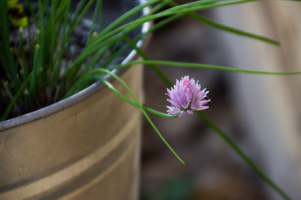 Chive Bloom by jetr