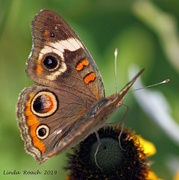 3rd Aug 2019 - The Eyes Have It or Butterfly Planets