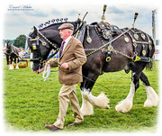 4th Aug 2019 - The Shire Horse In His Finery