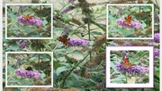 4th Aug 2019 - Collage of a Peacock butterfly on Buddleia flowers.