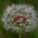 Luckily There Was Still A Dandelion ...._DSC7961 by merrelyn