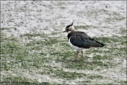 4th Aug 2019 - Scruffy lapwing