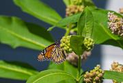 3rd Aug 2019 - monarch