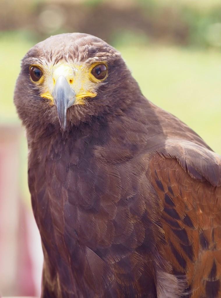 American hawk by jacqbb