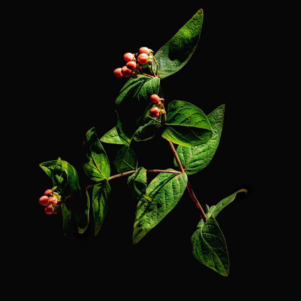 Hypericum softlit by torchlight at ISO 6400... by vignouse