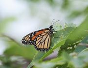 1st Aug 2019 - monarch
