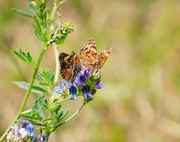 3rd Aug 2019 - silvery checkerspot