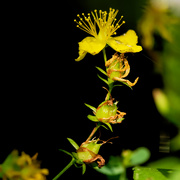 4th Aug 2019 - st john's wort