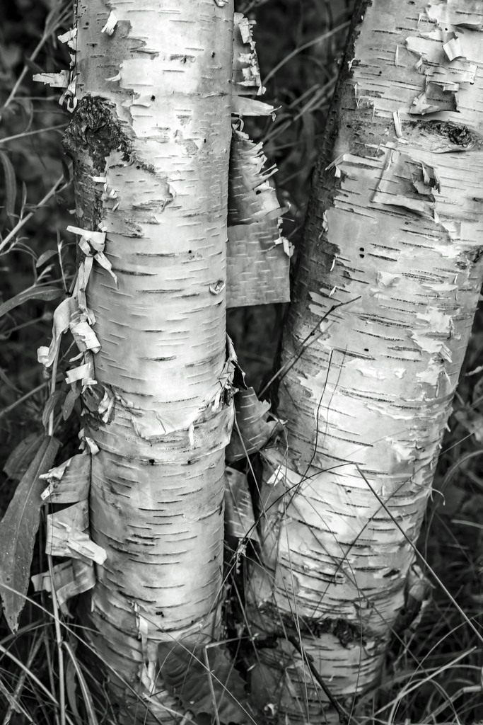 Two Birch by farmreporter