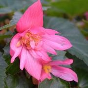 4th Aug 2019 - Begonia Tuberosa Funky Pink