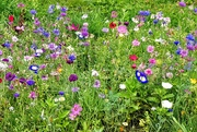 5th Aug 2019 - More wildflowers