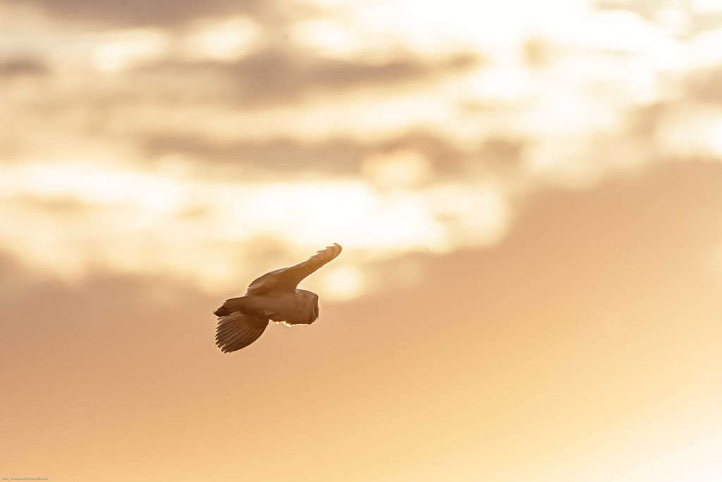 Barn Owl into the sunset by padlock