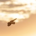 Barn Owl into the sunset