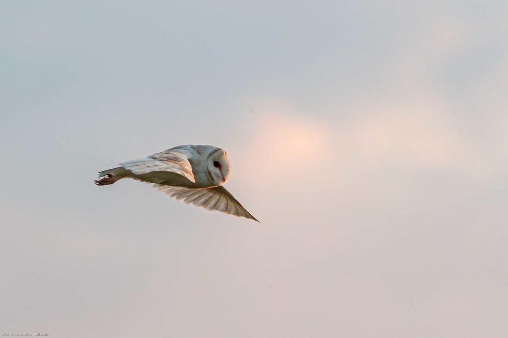 Barn Owl  by padlock