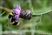 5th Aug 2019 - Bumble bee on the knapweed