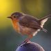 Robin by shepherdmanswife