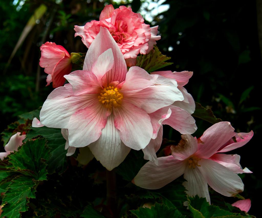 Pot Begonia by tonygig