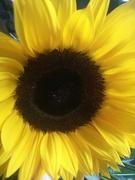 14th Jul 2019 - Sunflower