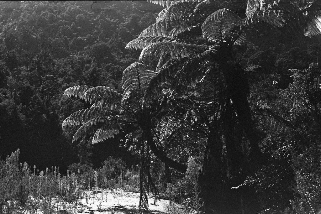 tree ferns  by kali66