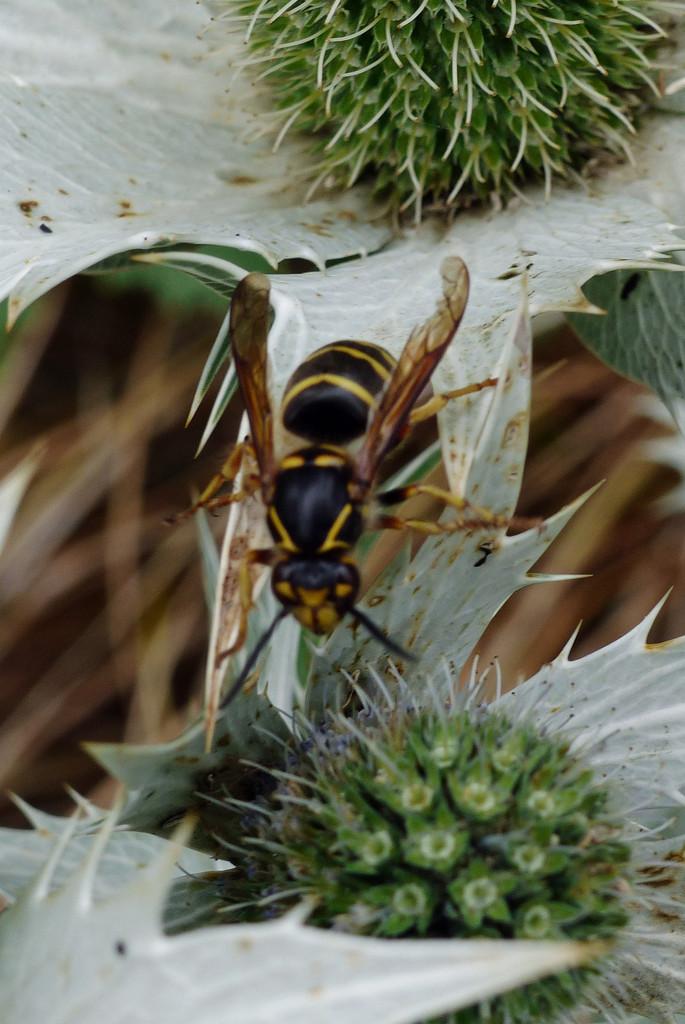 Eryngium plus wasp by judithdeacon