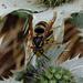 Eryngium plus wasp
