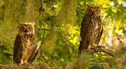5th Aug 2019 - Great Horned Owl Baby's!