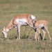Pronghorn Mother and Baby