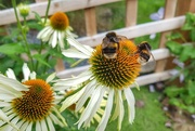 6th Aug 2019 - Two bee or not two bee!