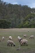 6th Aug 2019 - Sheep Paradise