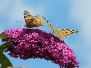 6th Aug 2019 - Two Painted Ladies on a branch of buddleia.