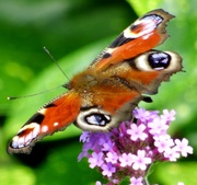 6th Aug 2019 - Peacock Butterfly