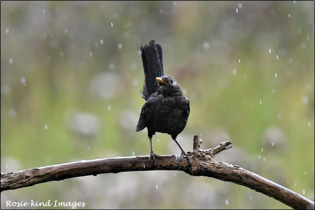 The blackbird didn't seem to mind the rain by rosiekind