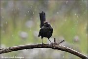 6th Aug 2019 - The blackbird didn't seem to mind the rain