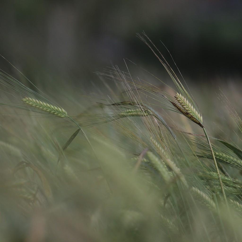 In The Wheat Field by motherjane