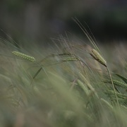 6th Aug 2019 - In The Wheat Field