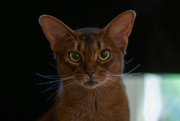 6th Aug 2019 - Those Abyssinian eyes!
