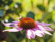 4th Aug 2019 - coneflower visitor