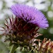 Big Thistle by carole_sandford