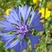 cornflower by gijsje