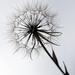 Gone to Seed! by fayefaye