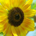 Sublime Sunflower by seattlite