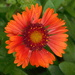 Orange beauty - new plant waiting to find a spot in the garden by 365anne