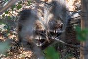 7th Aug 2019 - Raccoons