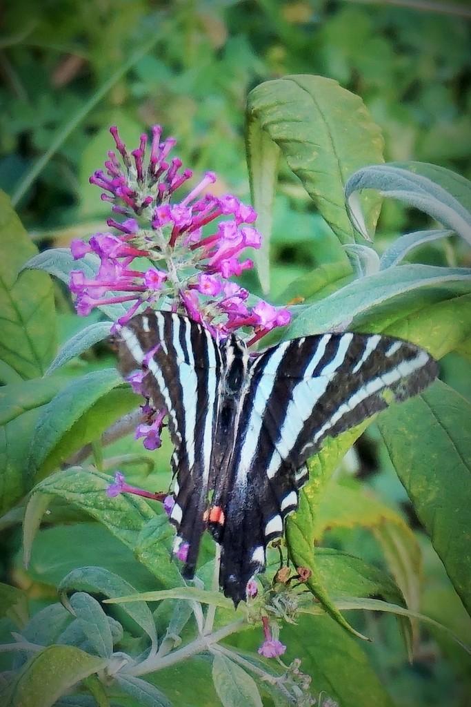 A ragged zebra swallowtail by tunia