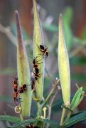 3rd Aug 2019 - Milkweed Bugs