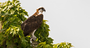 7th Aug 2019 - Osprey at a Different Loacation!