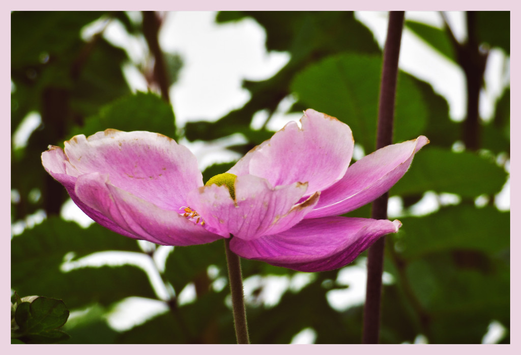 In the pink (2) by beryl
