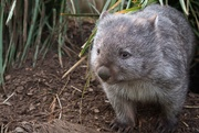 8th Aug 2019 - Wombat