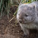 Wombat by kgolab