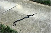 8th Aug 2019 - Eastern Rat Snake